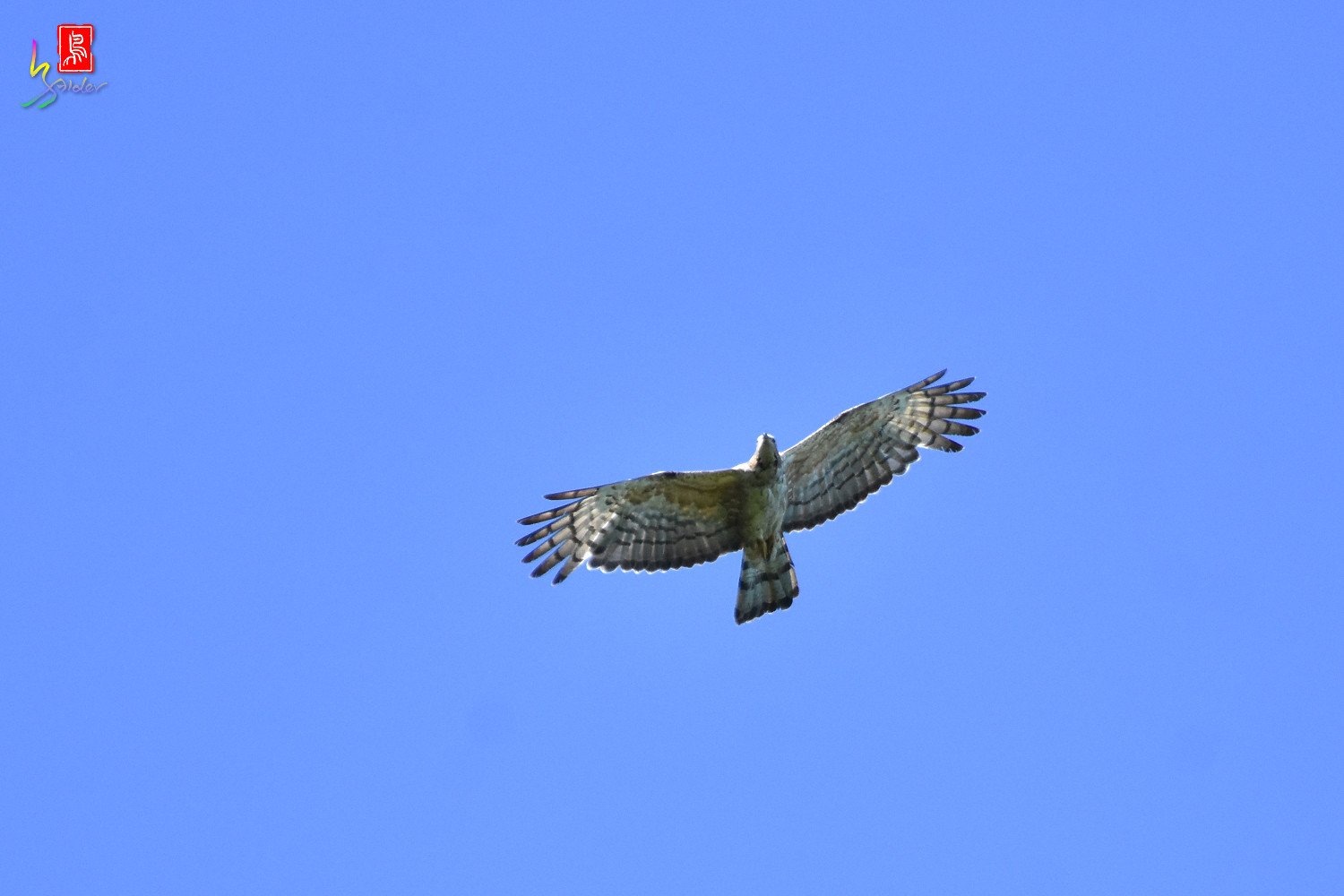 Honey_Buzzard_0262