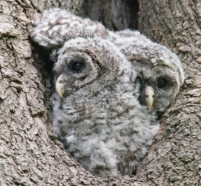 Baby Barred Owlets, Sony ILCA-99M2, Sony 500mm F4 G SSM (SAL500F40G)