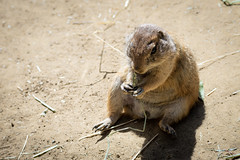 Podgy Black-tailed Prairie Dog (Cynomys ludovicianus) eating