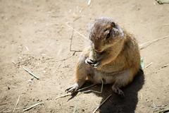 Podgy Black-tailed Prairie Dog (Cynomys ludovicianus) eating