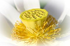 Lotus like butter