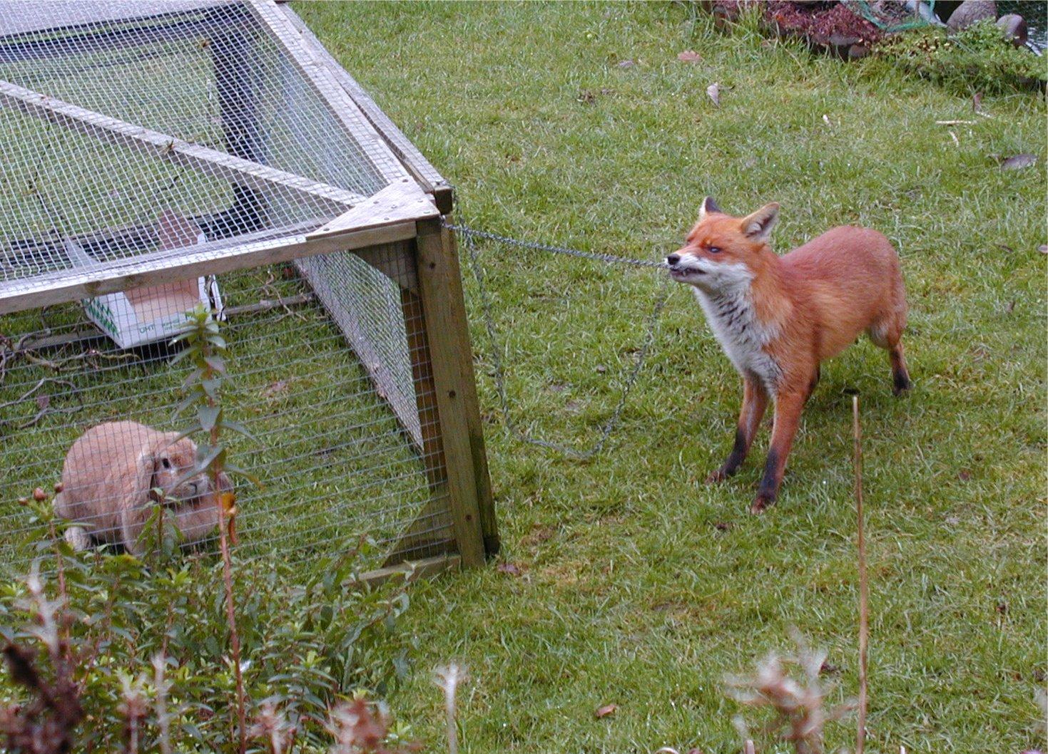 Fox in a Birmingham garden investigates a rabbit hutch. Photo taken on January 10, 2000.
