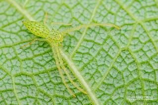 Green crab spider (Oxytate argenteooculata) - DSC_6033
