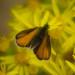 Skipper butterfly, ragwort flowers