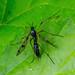 Phantom Cranefly - Ptychoptera contaminata?