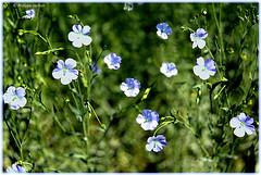 La petite fleur bleue ² © interlude