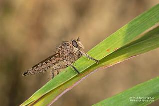 Robberfly (Asilidae) - DSC_5882