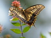 Photo:Old World swallowtail butterfly (キアゲハ) By Greg Peterson in Japan