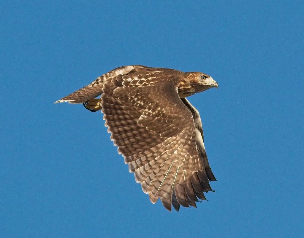 Tompkins fledgling A1