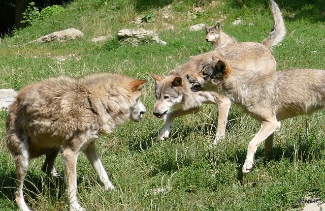 46-Timberwolf