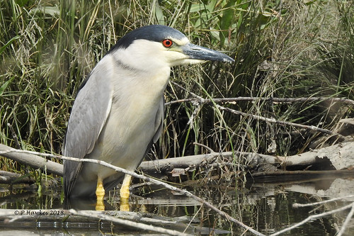 bird blackcrownednightheron fishcreekpark pamhawkes calgary