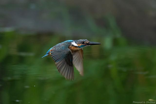 20180713-kingfisher-DSC_5975