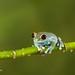 Ruby-eyed Tree Frog D50_7991.jpg