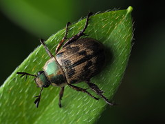Blitopertha orientalis (Oriental beetle, セマダラコガネ)
