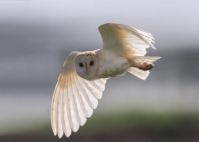 Barn Owl - against the light