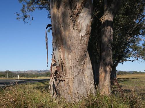 Eucalyptus glaucina trunk NC6