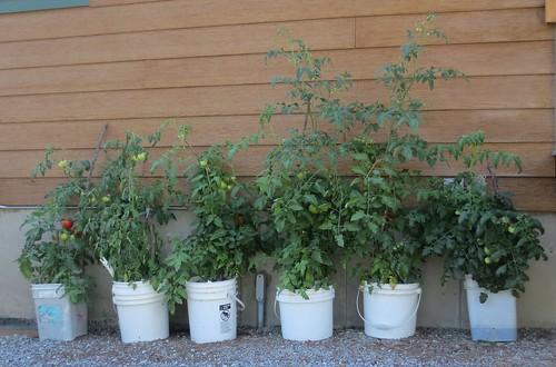 Tomato Container Gardening
