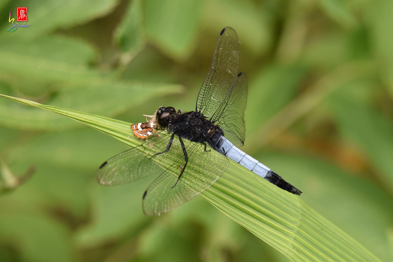 蜻蜓_2896