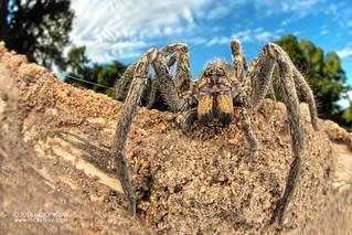 Wandering spider (Ctenidae) - DSC_4862
