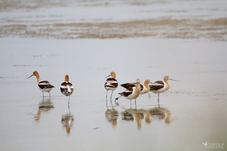 IMG_5833AmericanAvocets