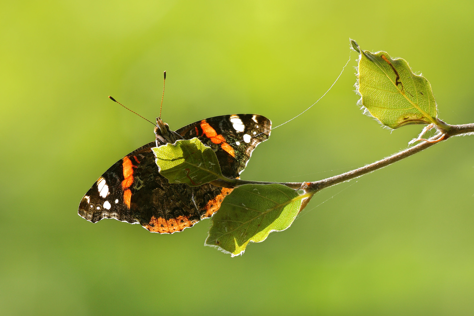 Red Admiral Close