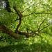 Oriental Plane Tree at Westonbirt Arboretum.