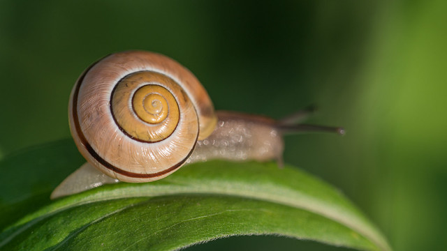 Snail transporting own shell
