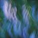 Hosta Blur by mary.newth