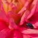 Au coeur du dahlia (Chrysis species) by Philainos