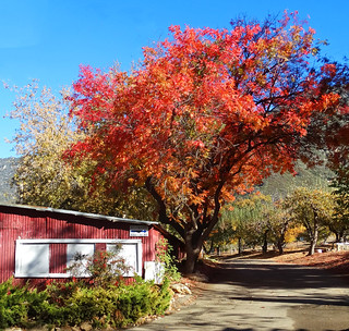 Maple Tree Splendor, Fall in Oak Glen, CA 2018