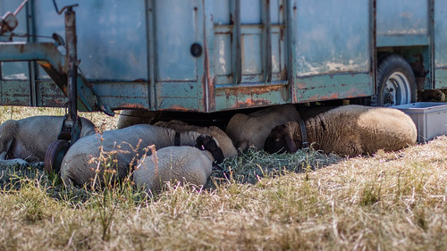 Sheeps under the trailer