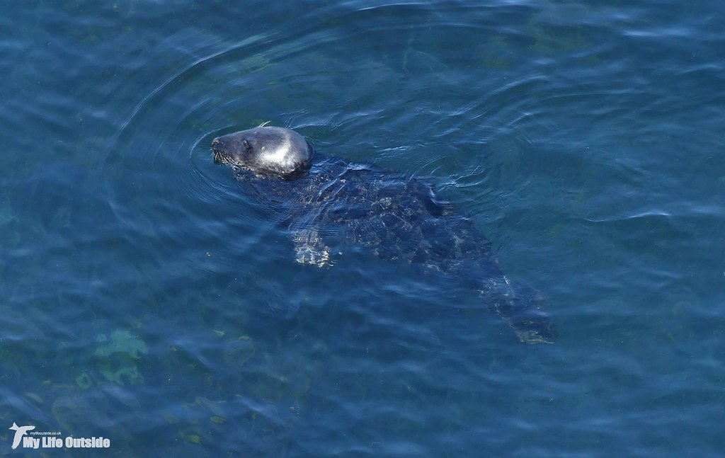 P1160149 - Grey Seal