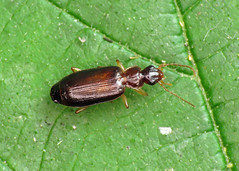 Dromius cf. meridionalis