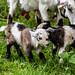 Goats born less that 5 minutes.
