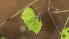 Sable Clubtail on Territory