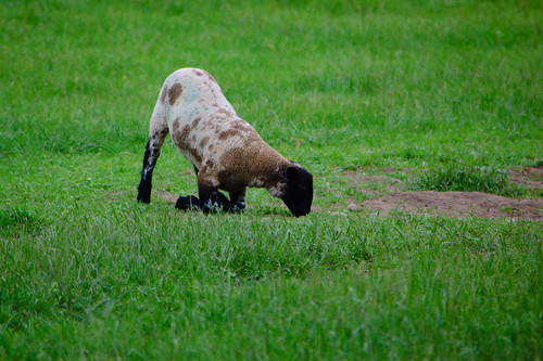Lamb, kneeling to eat