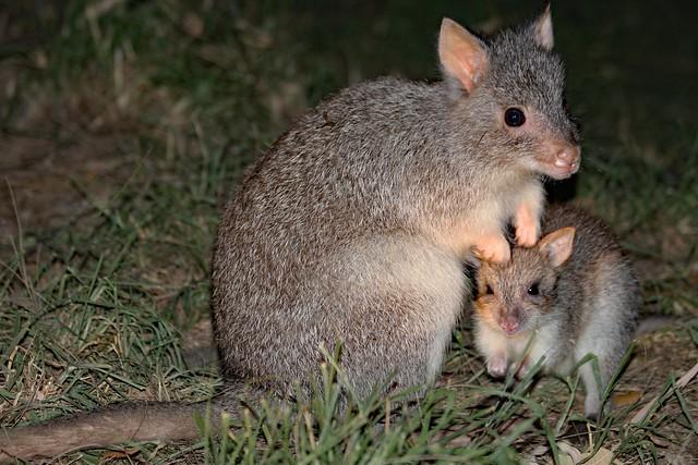 Bettong Kangaroos