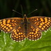 Heath Fritillary Butterfly
