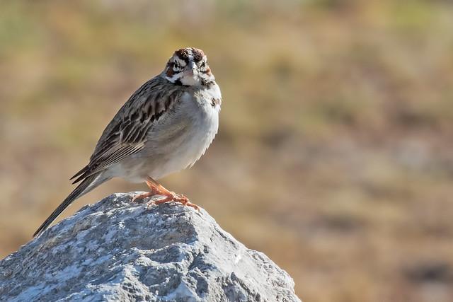 Lark-Sparrow-21-7D2-070818