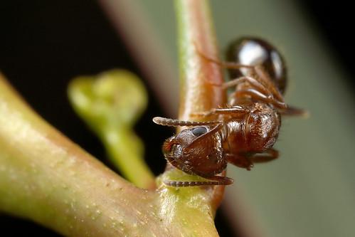 Notoncus sp.