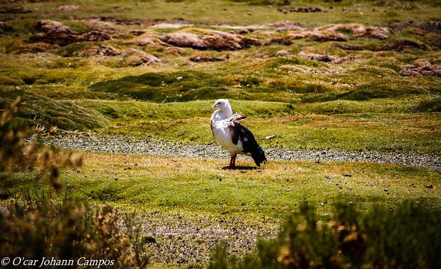 Piuquén - Andean Goose