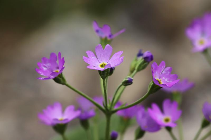 Primula farinosa subsp. modesta  ユキワリソウ