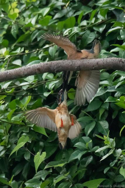 20180716-kingfisher-DSC_6901