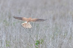 Nankeen Kestrel  ( every feather at work )