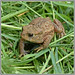 Juvenile Common Toad - Hessay - june 2018