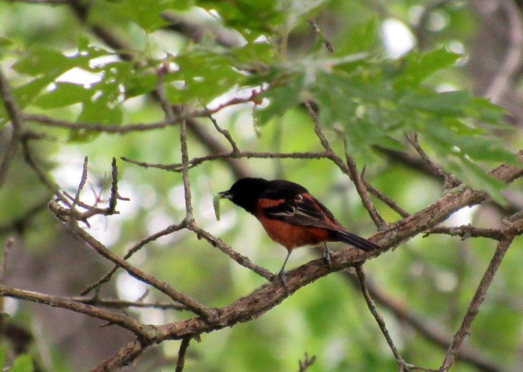 Orchard Oriole (Lake co.)