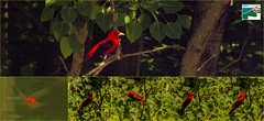Very Scarlet Tanager
