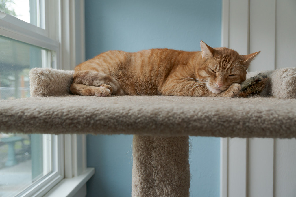 Our cat Sam sleeps atop the cat tree
