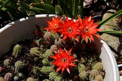 "Cactus ""cornichon"" mai 2018"