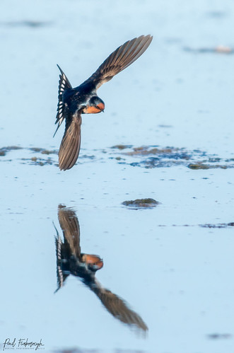 Swallows Skimming